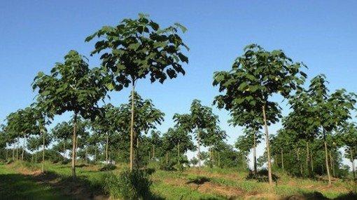 Kiri Árbol Que Frenaría El Cambio Climático, Se Impulsa En Argentina