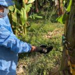 Confirman Hongo Del Banano En La Guajira, Colombia
