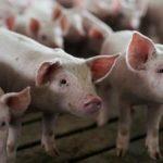 Bulgaria Ha Sacrificado Más De 120.000 Cerdos Por Fiebre Porcina