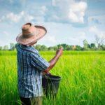 Los dominicanos consumen un millón de quintales de arroz por mes