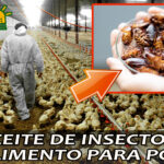 POLLOS ALIMENTADOS CON ACEITE DE INSECTOS